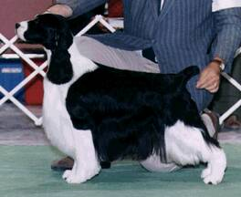 Dexter goes Winners Dog at the USA National handled by Steve Dainard